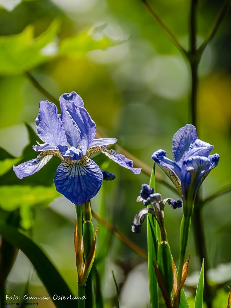 Blå blommor vid Mälarens strand.