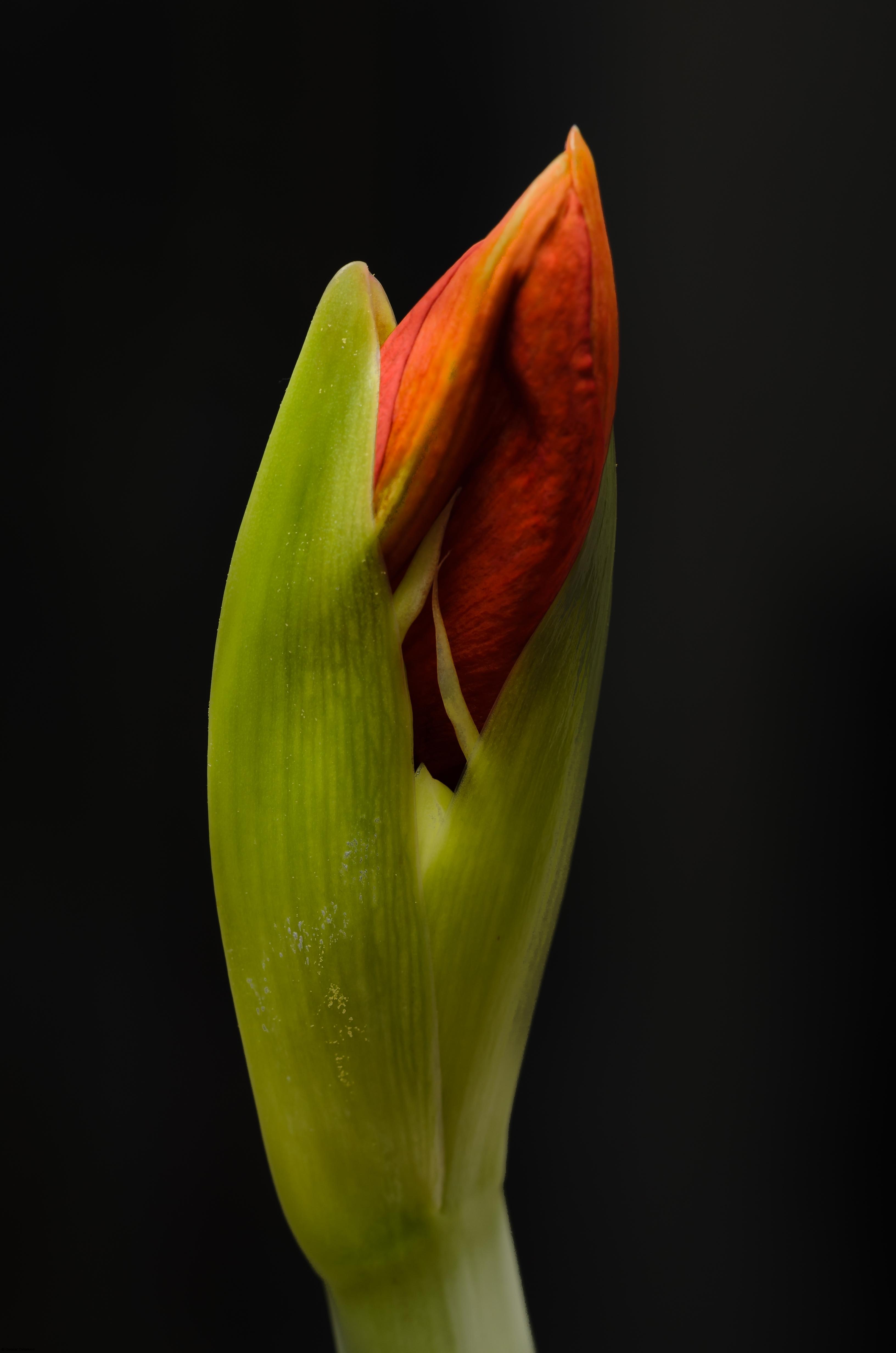 På gång att blomma.