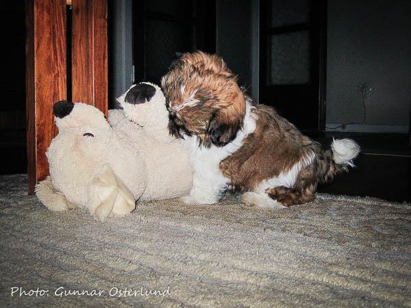 Mjukisdjuret är ett omtyckt jaktbyte.