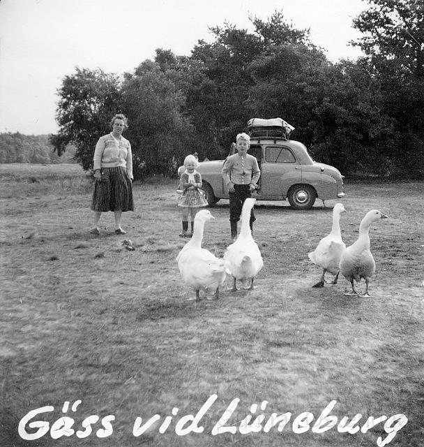 Gäss vid Lüneburg