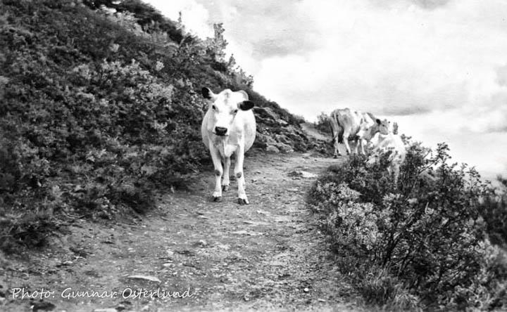 De här kossorna mötte vi när vi var på väg ner.