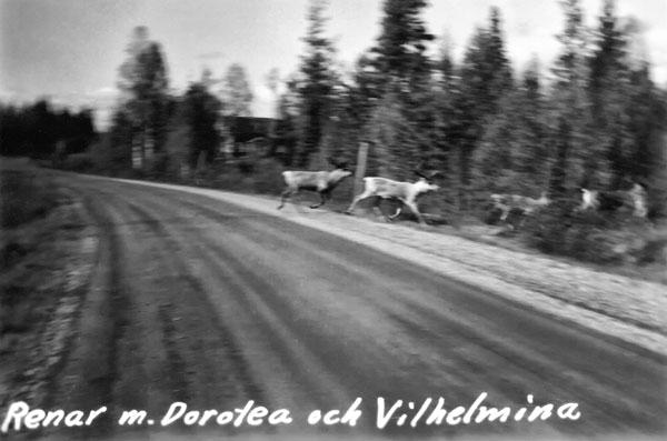 Renar korsande vägen mellan Dorotea och Vilhelmina