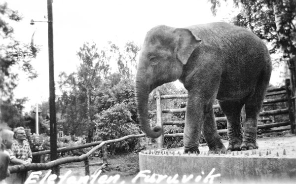 Elefant i Furuvik