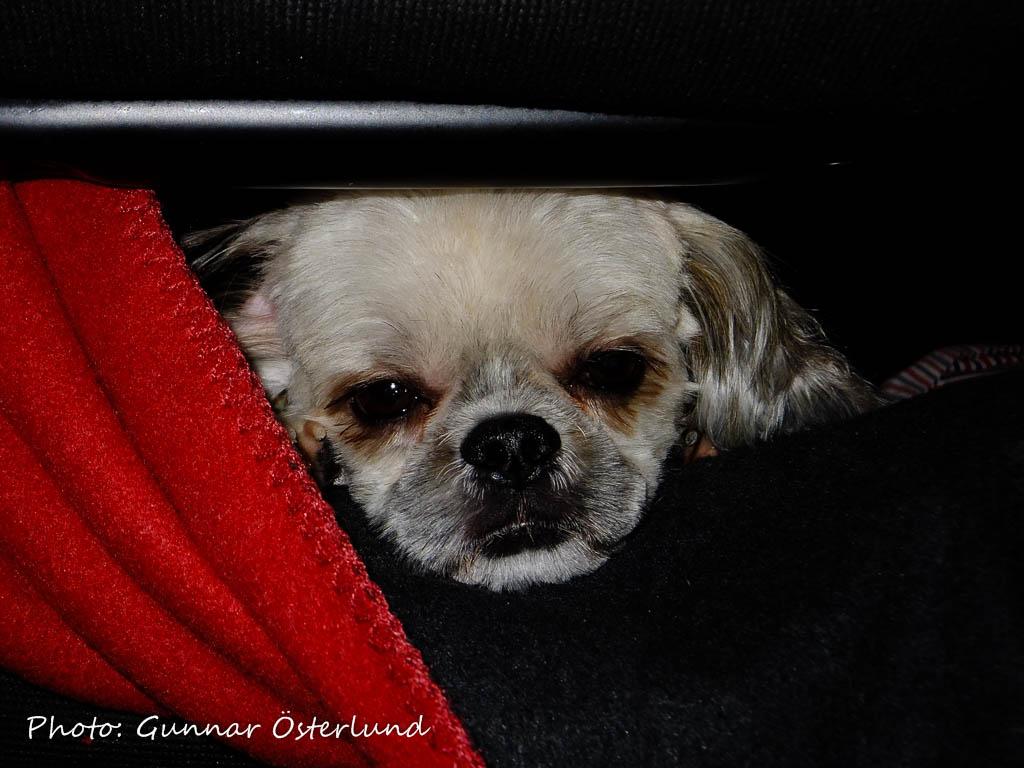 En trött liten nyklippt Mimi.