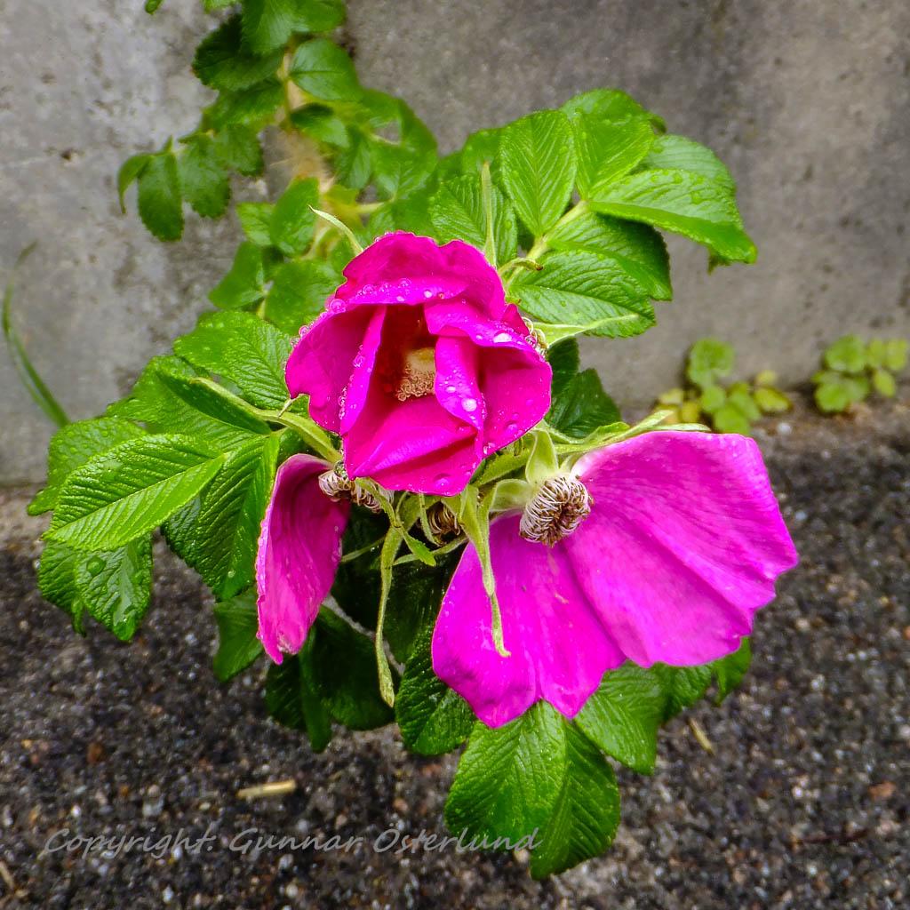 Blommande nyponros.