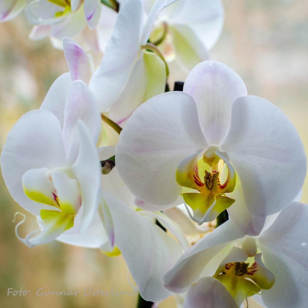 Blommande orkidé.