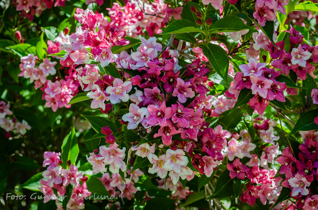 Blommande buske i botaniska trädgården.