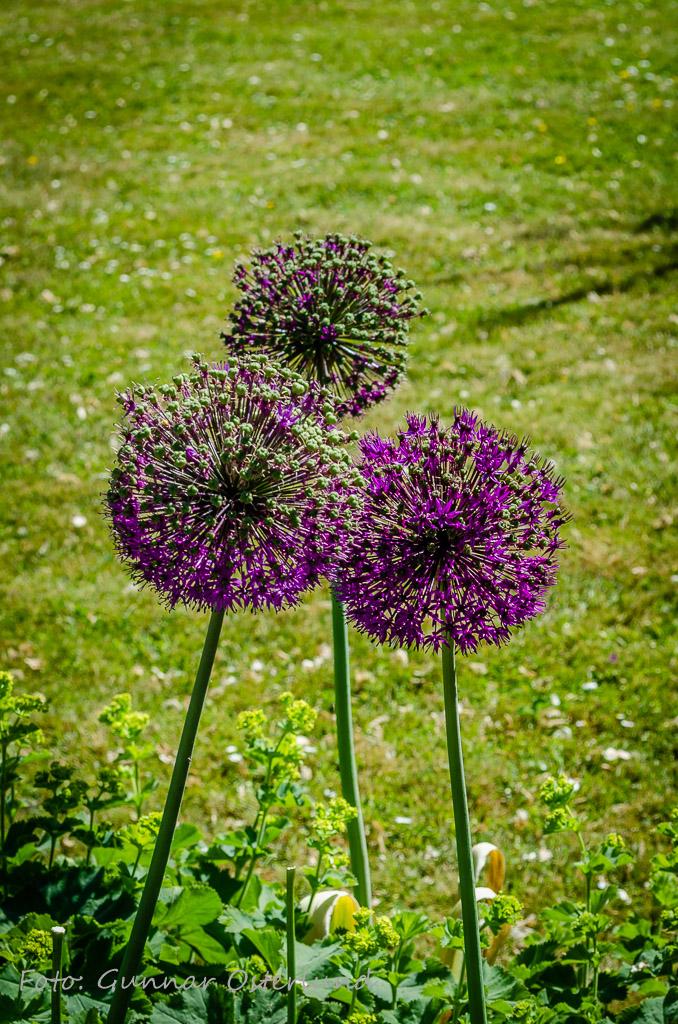 Blomma i botaniska trädgården, Visby.
