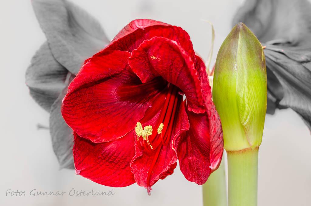 Blommande röd amaryllis.