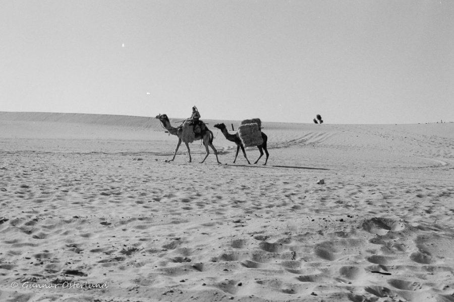 Två dromedarer i Sinais sand.